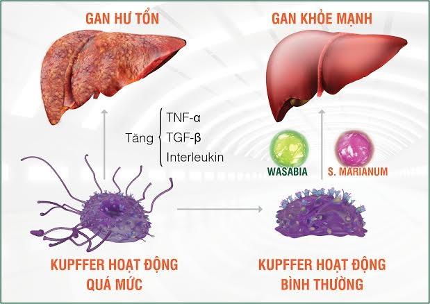 Tinh chất Wasabia và S. Marianum (có trong HEWEL) kiểm soát hiệu quả hoạt động tế bào Kupffer, là giải pháp mới giúp phòng trị các bệnh lý gan từ gốc