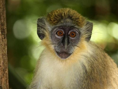 Loài khỉ xanh bị nhiễm vi khuẩn từ loài người khoảng 2.700 năm trước.