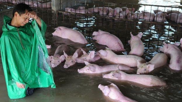 Người nông dân ở An Huy bất lực nhìn đàn lợn ngập trong lũ. (Ảnh: Reuters)