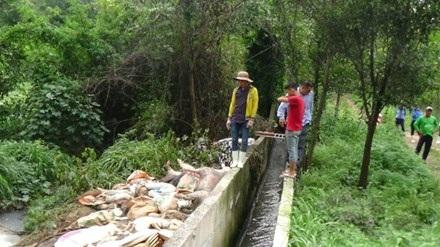 Hàng trăm xác heo chết được công ty Việt Phước vứt ra môi trường.