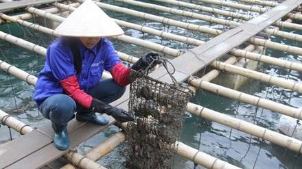 Chị Nguyễn Thị Thanh giải thích công đoạn chăm sóc đặc biệt trước khi cấy ngọc.
