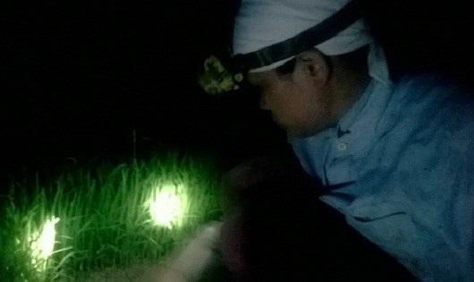 Nông dân Hà Nội nửa đêm rủ nhau xuống đồng nhổ mạ - 1