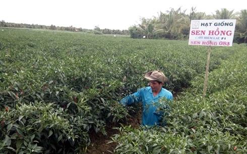 Giá ớt bán tại ruộng đang dao động từ 30.000 – 40.000 đồng/kg.