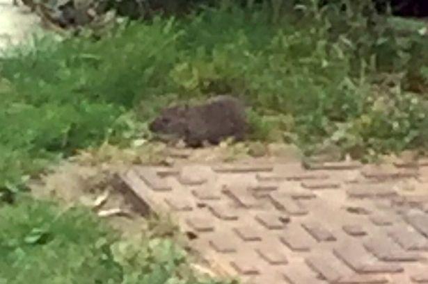 Những con chuột to như chó đã xâm chiếm vườn nhà bà Kimberley