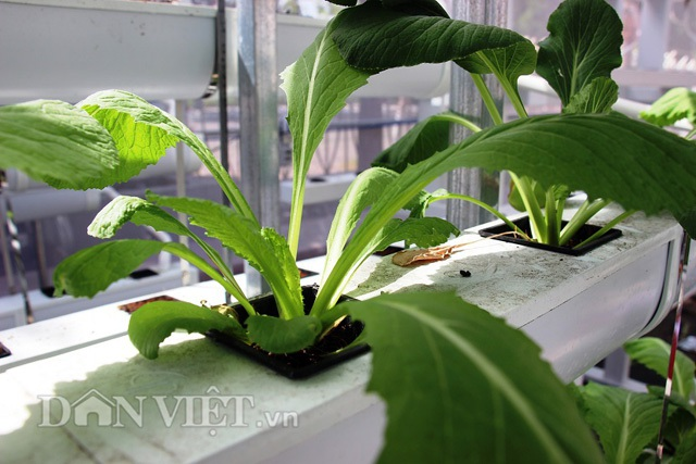 Với cách trồng thủy canh hồi lưu, nhiều loại rau sẽ được trồng vào các ô khác nhau đặt trên giàn.