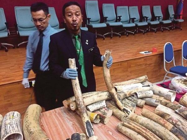 Tổng giám đốc Perhilitan, Abdul Kadir Abu Hassan cho thấy những tang vật bị bắt giữ.