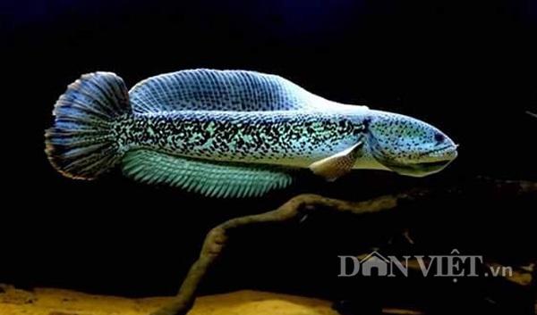 Cá lóc hoàng đế trưởng thành có đặc điểm dễ phân biệt với các loài các lóc khác là cá có màu chủ đạo là xanh hoặc xanh dương.