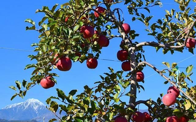 """Mục sở thị """"táo thần kỳ"""" nông dân Nhật trồng để 4 năm không thối, không hỏng - 1"""