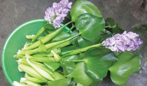 Bèo tây trước kia được dùng làm thức ăn cho lợn, gà, ngan vịt thì nay được dân Hà thành tìm kiếm về ăn như một loại rau sạch đặc sản