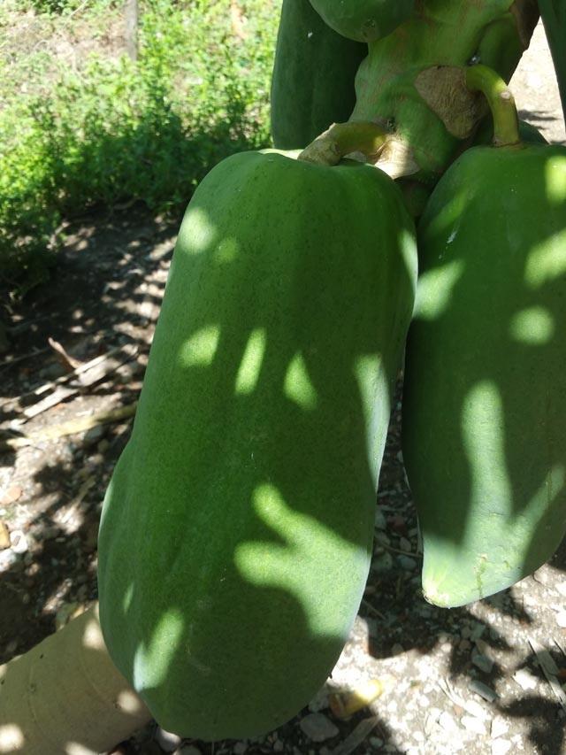 Bí quyết trồng đu đủ sai trĩu, nặng tới 7kg/quả - 1