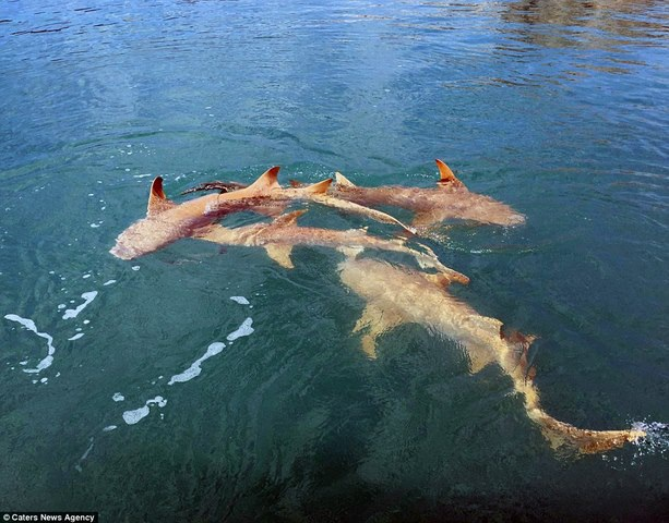 Cá sấu sát cánh cá mập bao vây thuyền câu - 1