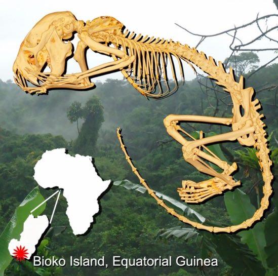Đảo Bioko và phác họa xương Zenkerella insignis.