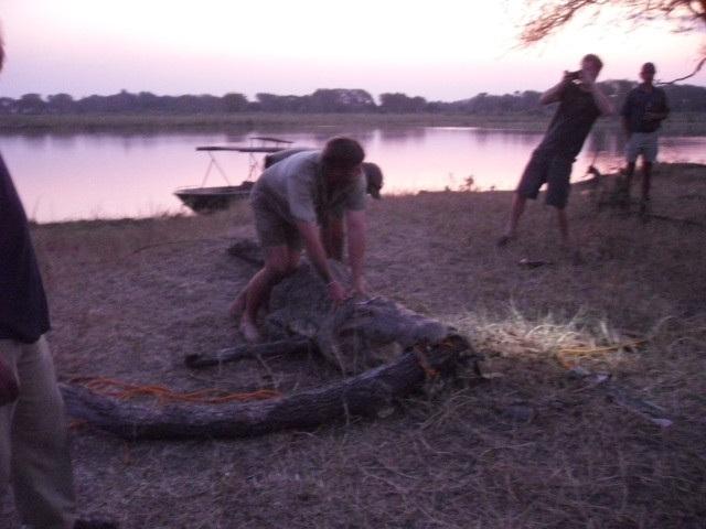 Hoàng tử Harry không ngần ngại giải cứu cá sấu