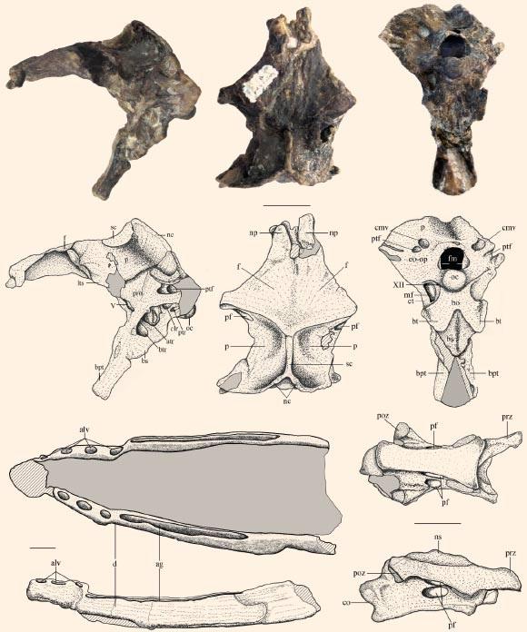 Các mảnh xương của Allkaruen koi: hộp sọ, hàm dưới và đốt sống cổ (Ảnh: Codorniu L etal.)