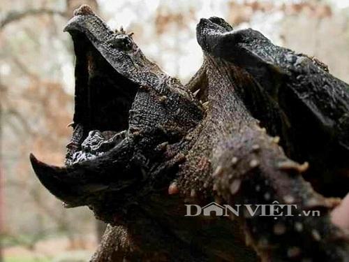 Rùa lạ có thân hình rất kỳ quái.