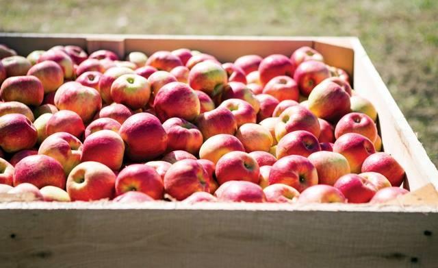 """Mục sở thị """"táo thần kỳ"""" nông dân Nhật trồng để 4 năm không thối, không hỏng - 2"""