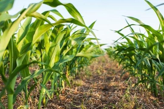 Đột phá về biến đổi gen ở các hạt ngũ cốc - 1