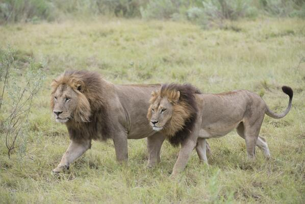 Bức ảnh được nhà sinh thái học Simon Dures chia sẻ trên Twitter cho thấy một hình ảnh tuyệt đẹp hiếm gặp của một con sư tử cái có bờm, đi bên cạnh nó là một con sư tử đực to lớn hơn nhiều.