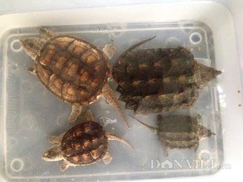 Rùa khủng long có thể nhốt chung với một số loài rùa khác được bình thường.