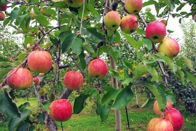 """Mục sở thị """"táo thần kỳ"""" nông dân Nhật trồng để 4 năm không thối, không hỏng - 7"""
