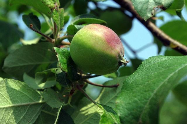 """Mục sở thị """"táo thần kỳ"""" nông dân Nhật trồng để 4 năm không thối, không hỏng - 8"""