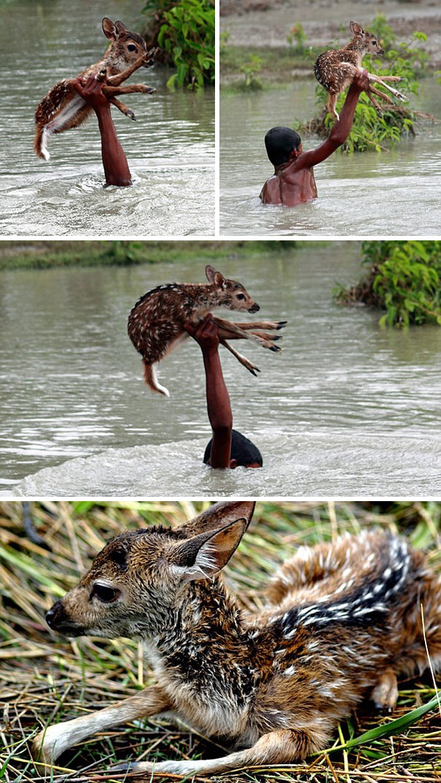 Một cậu bé người Bangladesh không ngần ngại lao mình vào dòng nước lũ để cứu chú hươu sao con.