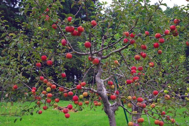 """Mục sở thị """"táo thần kỳ"""" nông dân Nhật trồng để 4 năm không thối, không hỏng - 3"""
