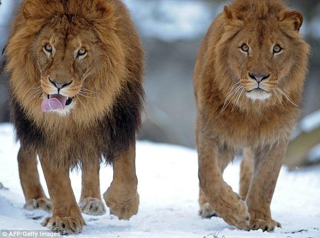 Một con sư tử cái có bờm (bên phải) được nhìn thấy đang đi cùng một con đực ở vườn thú Warsaw năm 2011