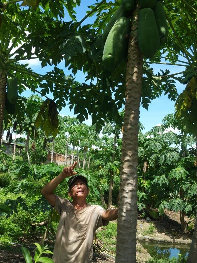 Ông Tào cho biết sau 2 năm trồng, cây cao 3m, quả nặng từ 4-7kg và dài 30cm.