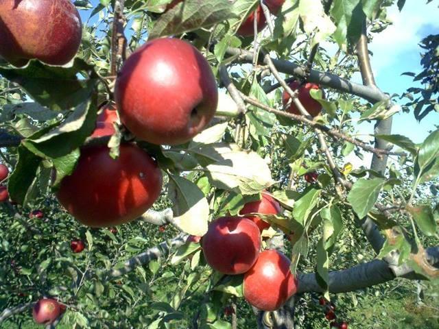 """Mục sở thị """"táo thần kỳ"""" nông dân Nhật trồng để 4 năm không thối, không hỏng - 10"""