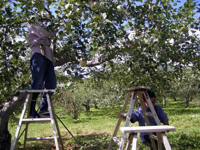 """Mục sở thị """"táo thần kỳ"""" nông dân Nhật trồng để 4 năm không thối, không hỏng - 11"""