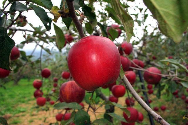"""Mục sở thị """"táo thần kỳ"""" nông dân Nhật trồng để 4 năm không thối, không hỏng - 12"""