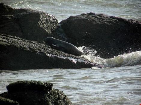 Hải cẩu xám bất ngờ xuất hiện ở biển Bình Thuận - 2