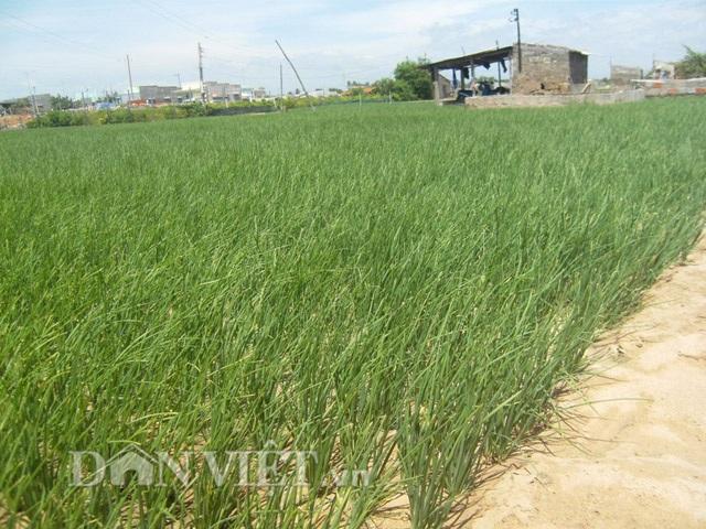 Làm hành giống trên đất cát giúp nông dân Ninh Hải thu nhập cao.