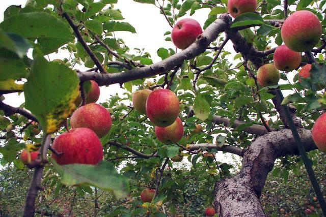 """Mục sở thị """"táo thần kỳ"""" nông dân Nhật trồng để 4 năm không thối, không hỏng - 4"""