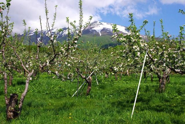 """Mục sở thị """"táo thần kỳ"""" nông dân Nhật trồng để 4 năm không thối, không hỏng - 13"""