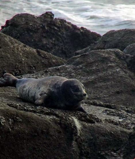 Hải cẩu xám bất ngờ xuất hiện ở biển Bình Thuận - 4
