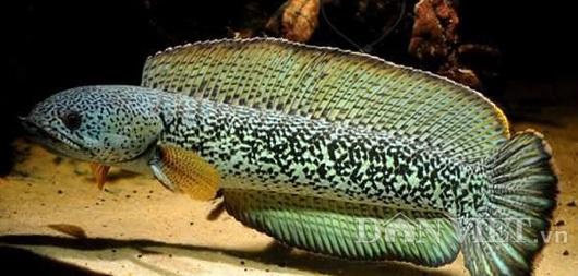 Toàn thân một con cá lóc hoàng đế có giá bán lên đến hàng nghìn đô/con đang được trưng bày tại shop của anh Ken Trần ở Đồng Nai.