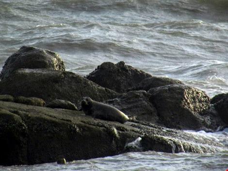 Hải cẩu xám bất ngờ xuất hiện ở biển Bình Thuận - 6