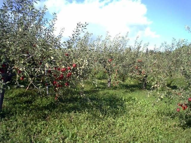 """Mục sở thị """"táo thần kỳ"""" nông dân Nhật trồng để 4 năm không thối, không hỏng - 6"""