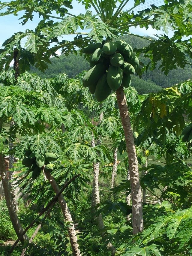 Vườn cây đu đủ sai trĩu quả, nặng 7kg của gia đình ông Tào.