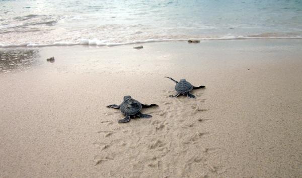 """Rùa xanh - Những """"phượt thủ"""" nhỏ bé giữa lòng đại dương - 10"""