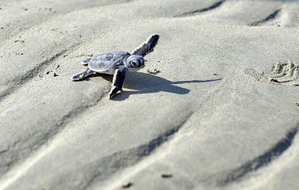 Rùa biển được coi là Sứ giả của đại dương,