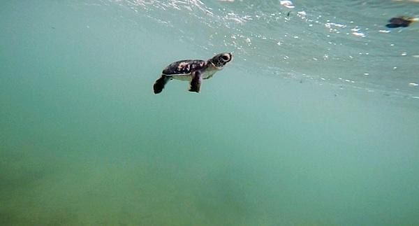 Ngay khi hòa mình vào làn nước biển, mỗi chú rùa con sẽ ngoi lên, nhìn về bờ lần cuối và ghi nhớ vị trí này. Sau 30 năm phiêu lưu dưới lòng đại dương, rùa sẽ quay lại vùng biển nơi chúng được sinh ra để kết đôi, làm tổ và đẻ trứng.