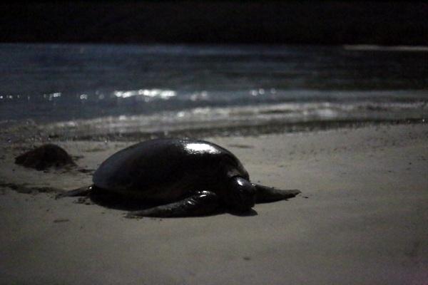 Rùa mẹ thường chọn buổi đêm, khi thủy triều lên cao nhất để lên bờ đẻ trứng.