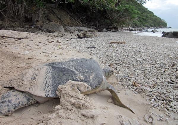 """Cá biệt cũng có những mẹ rùa lên bờ buổi sáng. Đây thường là những mẹ rùa đã """"nhịn"""" nhiều lần, do gặp chướng ngại vật như con người, thú rừng... làm phiền."""