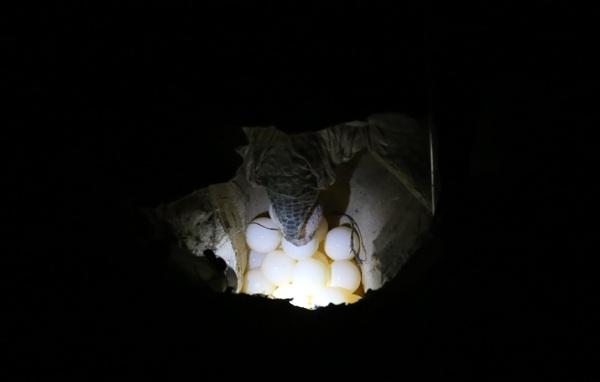 Khi đã đào xong tổ, rùa mẹ thường mất khoảng 30 phút – 1 tiếng để đẻ trứng