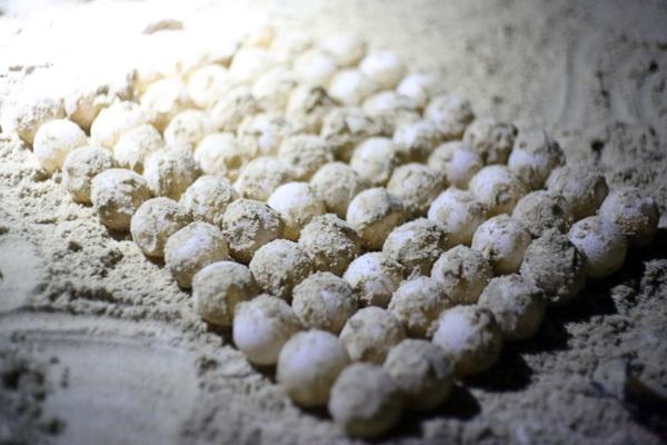 Trung bình, mỗi rùa mẹ Côn Đảo thường đẻ 70 – 200 trứng/lần. Mỗi con có thể đẻ 3 -10 lần mỗi mùa