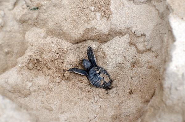 Sau 2 tháng, rùa con sẽ xé vỏ trứng và đào cát bò lên khỏi mặt đất