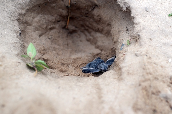 """Rùa xanh - Những """"phượt thủ"""" nhỏ bé giữa lòng đại dương - 8"""